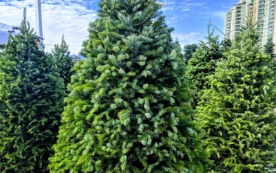 Christmas Tree Care Calendar